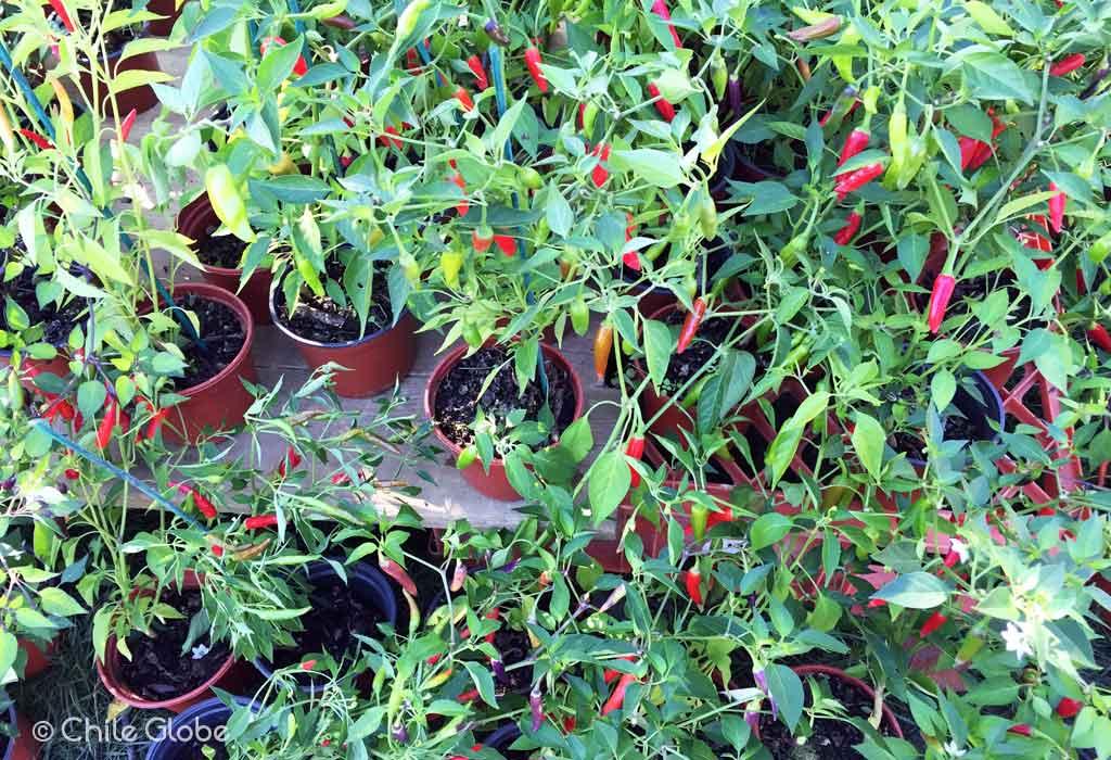 chileglobe-5-tipos-de-capsicums